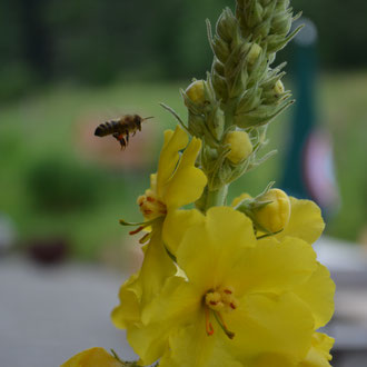 Blüte von einer Königskerze mit Biene