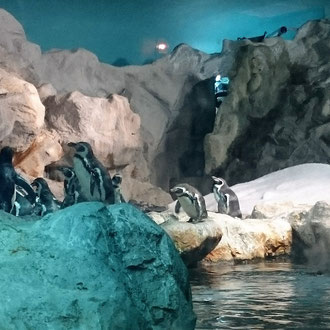 Pinguine, Bird Park Singapore
