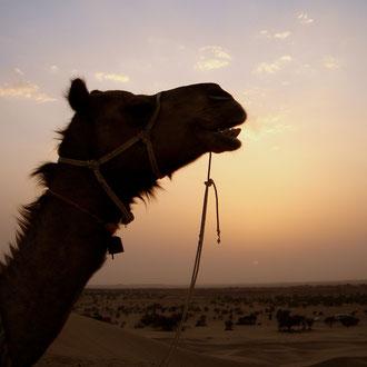Kamel Safari Jaisalmer Rajasthan