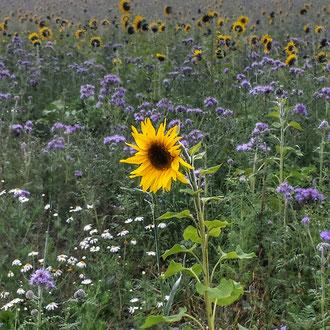 Sonnenblume imFeld