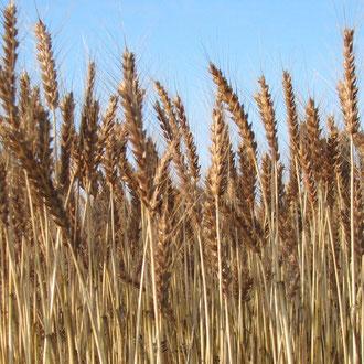 岐阜県産小麦粉『タマイズミ』