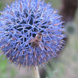 Kugel- oder Blaudistel