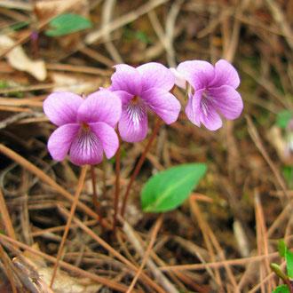 紫背スミレ