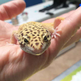 geco leopardino veterinario milano