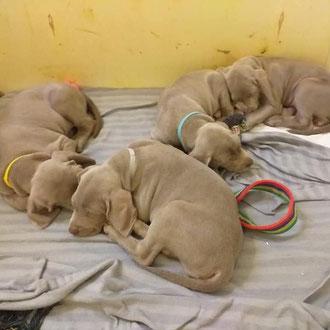 cuccioli cane veterinario milano