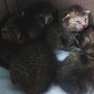 cuccioli gatto veterinario milano