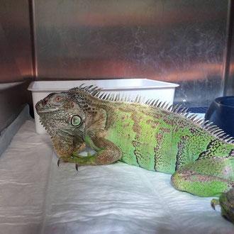 iguana veterinario milano
