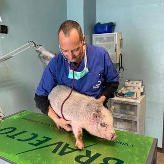 mini pig veterinario Milano