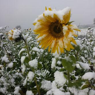 Sonnenblume  mit Schnee
