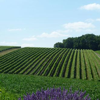 Vignoble à cognac du Maine Giraud