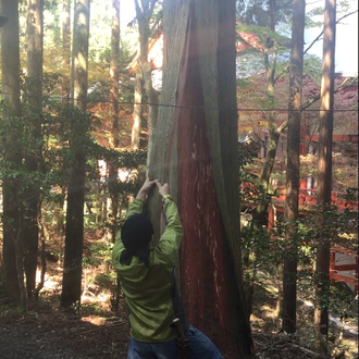 Peeling the cypress bark