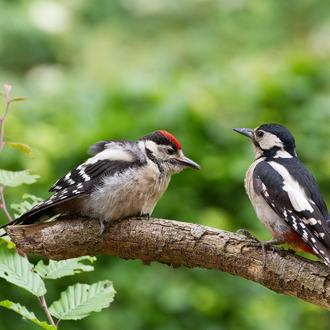 junger Buntspecht wird vom Weibchen gefüttert