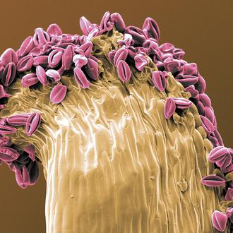 kolorierter Pollen