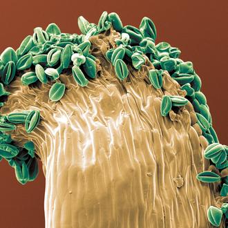 kolorierter Pollen - Grün