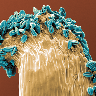 kolorierter Pollen - Blau