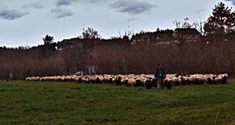 12. Dezember 2014 - Schafe sind intelligente Wesen und haben mehr im Kopf als jene, die schwarze Schafe ausgrenzen