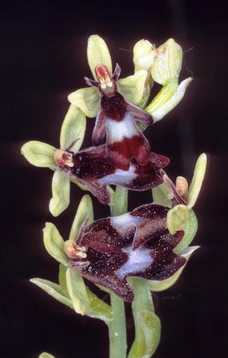 Fliegen-Ragwurz, insektenähnliche Blüten in Gestalt und Duft