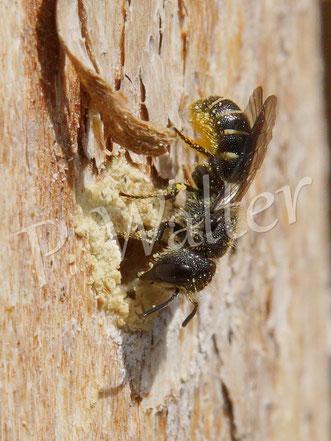 Bild: Löcherbiene, Osmia truncorum, Weibchen