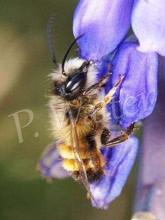 09.04.2016 : Männchen der Rostroten Mauerbiene