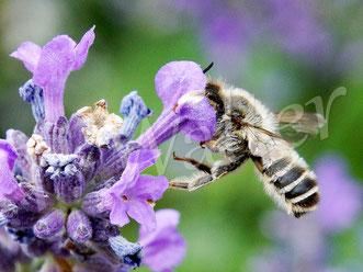 09.07.2016 : Blattschneiderbiene an einer Lavendelblüte