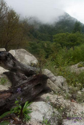 朽ちた幹の側らに咲く青い花
