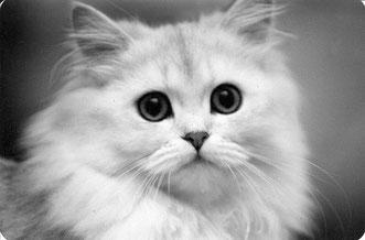 Perserkatze, 1981, Katze silver shaded, Besitzer & Foto (c) Birgitta Kuhlmey