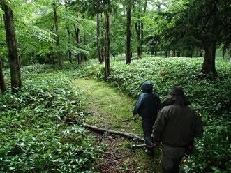 流域はヒグマなど野生生物の生息エリア。アプローチのトレイルは丈のあるクマザサが生い茂っているところも。