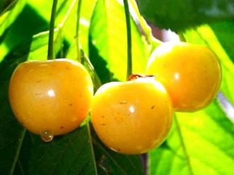 саженцы черешни Россошанская Золотая