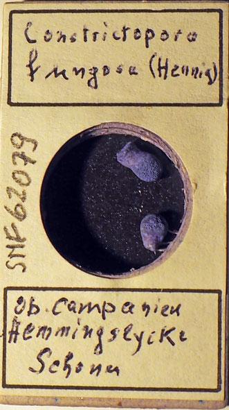 Bild 3 Bryozoa aus Sammlung Senckenberg Frankfurt