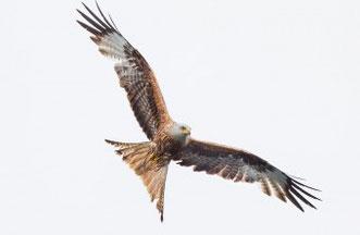 Rotmilan sind auch im Donau-Ries noch zu sehen. Die KG LBV Donau-Ries achtet auf diesen majestätischen Vogel