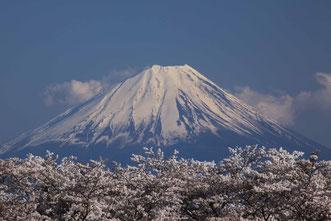 「富士山はいつも桜色」 全紙