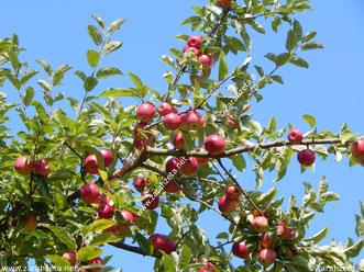 Zur Apfelzeit im Herbst reife, rote Äpfel am Baum unter blauem Himmel