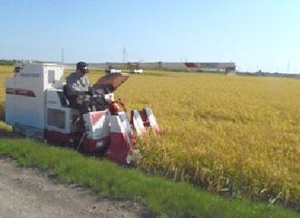 今年も田は黄金色の絨毯が敷き詰められた。