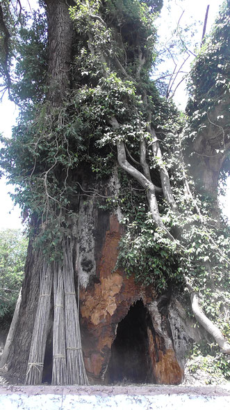 the Kalpavriksha, the wish fulfilling divine tree