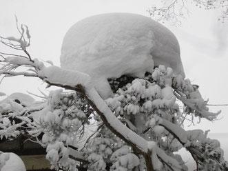 木の上にこんもり、雪のお帽子。ちょっと可愛くて撮りました。