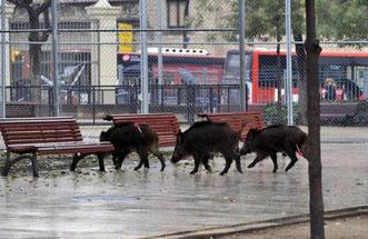 Кабаны в Барселоне