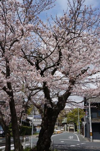 二川消防団詰め所横の永年愛されてきた桜