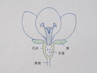 言葉ではわかりづらいので、リンゴの花の簡略図を描きました。