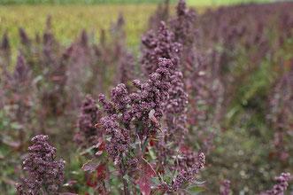 Quinoa kochen Quinoa gesundheit gesund superfood quinoa herkunft quinoa geschichte quinoa zubereiten inhaltsstoffe nährwerte