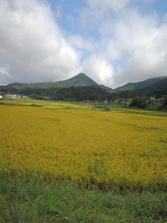 鳥取との県境、剣山を背に実る稲穂。