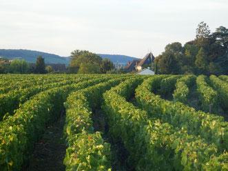 Vignes en appellation régionale Bourgogne (Côte de Beaune). Laurent Gotti