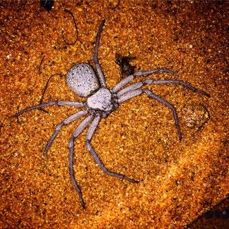 Juveniles Tier von Sicarius terrosus