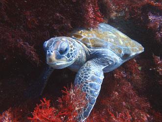 川奈の海に生息しているウミガメを見ることができます。