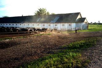 Kuh-Stallung eines kleineren Kollektivs