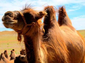 eine Kamel-Herde ein paar Kilometer weiter