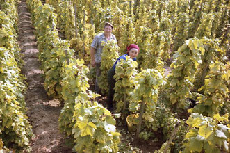 Akkord-Arbeit im Weinbaerg