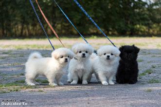 Tibetaanse Spaniel Puppies