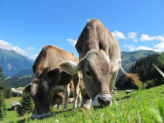 Kühe auf der Weide in den Bergen