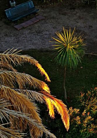kranke Palme, Südfrankreich