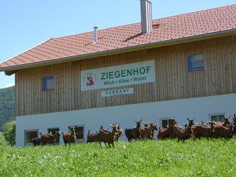 Ziegenherde auf der Wiese vor dem Ziegenhof-Stall